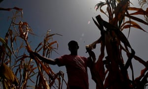 A farmer who lost his crops because of the drought, checks his corn field in the town of Usulutan, El Salvador on 24 July.