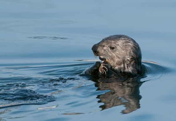 An Elkhorn Slough sea otter enjoying a meal.