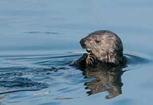 An Elkhorn Slough sea otter enjoying a meal.