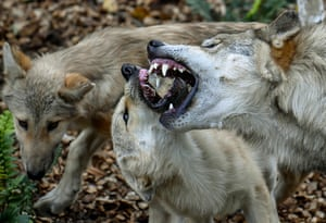 A female regurgitates food for wolf cubs from Canada in their enclosure at Pairi Daiza animal park in Brugelette, western Belgium