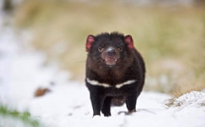 A disease-free Tasmanian Devil in the snow. They are a carnivorous marsupial of the family Dasyuridae.