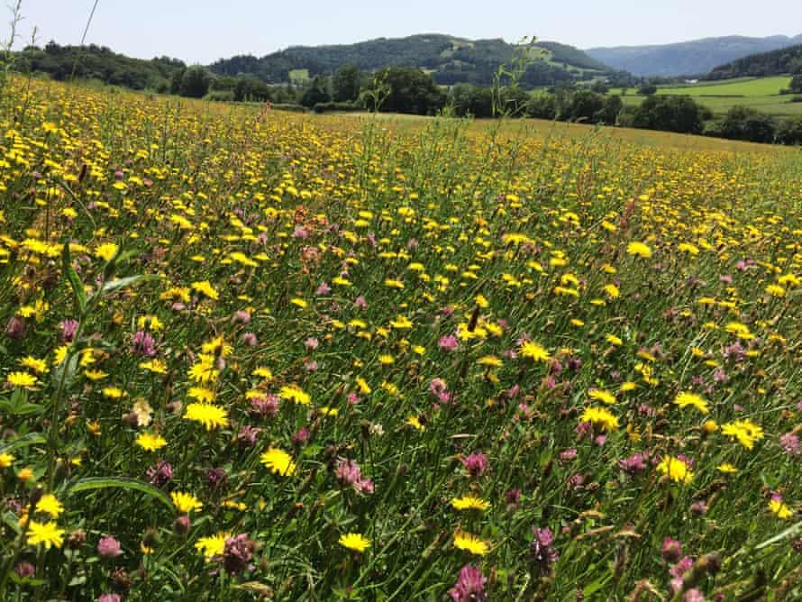 Trevor Dines's Tyddyn Afon meadow in Snowdonia.