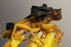 A jagged ambush bug in Ontario.
