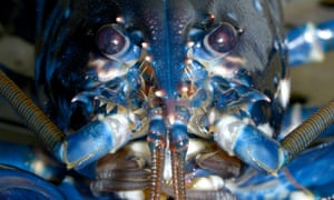 'Yes lobsters have serotonin-based reward systems like humans – but they also urinate out of their faces'