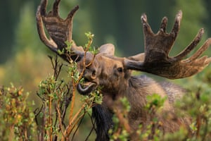 A bull Shiras moose (Alces alces shirasi) in green forest vegetation in Ward, Colorado, US