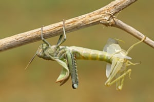 Photographer of the Year shortlisted: My shirt by Hasan Baglar in Nicosia, Cyprus The grasshopper is moulting its exoskeleton. It will do this a number of times as it changes and grows during its lifetime