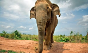 In Asia, it is estimated that fewer than 50,000 elephants remain.