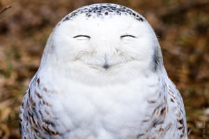 A snowy owl looks very content as it smiles for photographer Edward Kopeschny, Ontario, Canada.