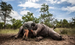 The carcass of a rhino killed for its horn being prepared for postmortem, in Kruger National Park, South Africa, 4 February 2015.
