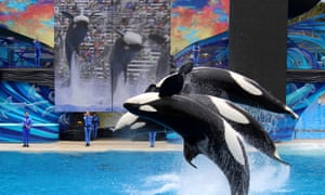 Two orca whales performing in a show to the public at SeaWorld, San Diego, US.