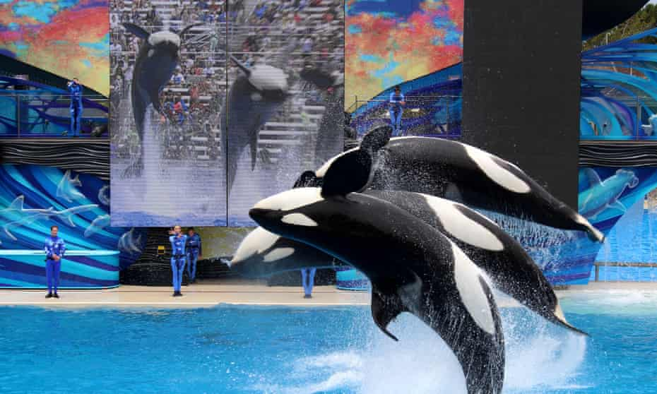 Orcas jump in the air at SeaWorld.