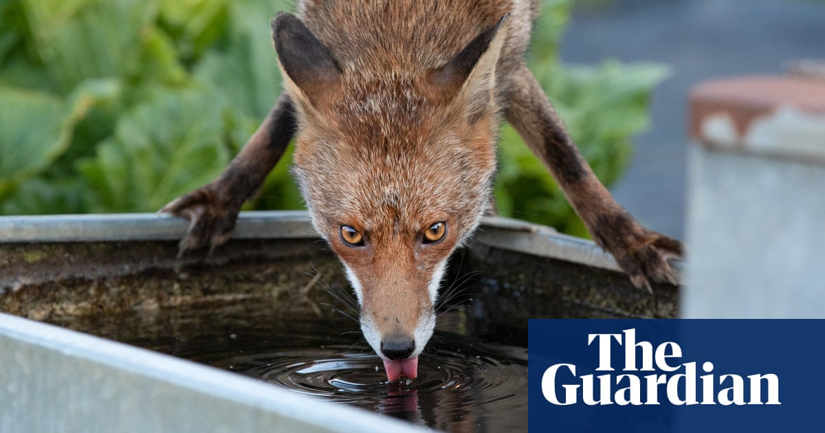 A fox drinking like a giraffe: Matt Maran's best photograph