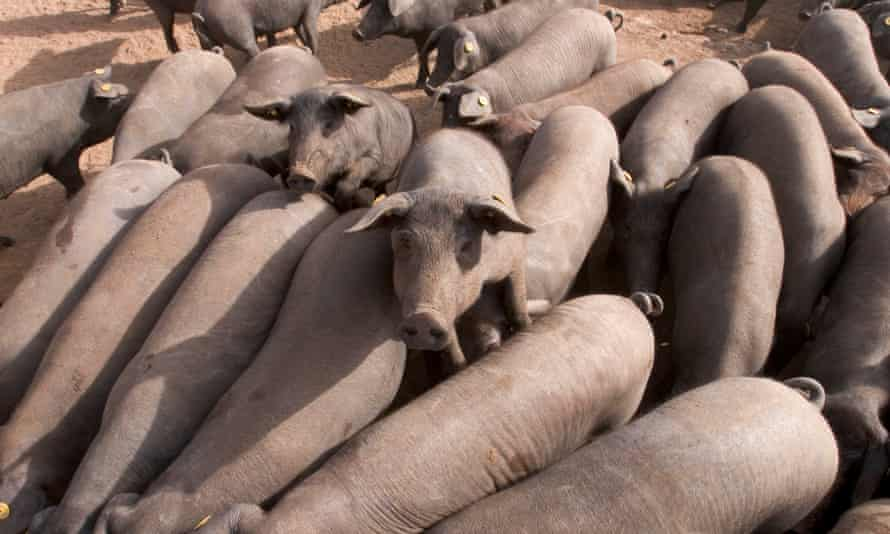 A pig farm in Villanueva de Córdoba.