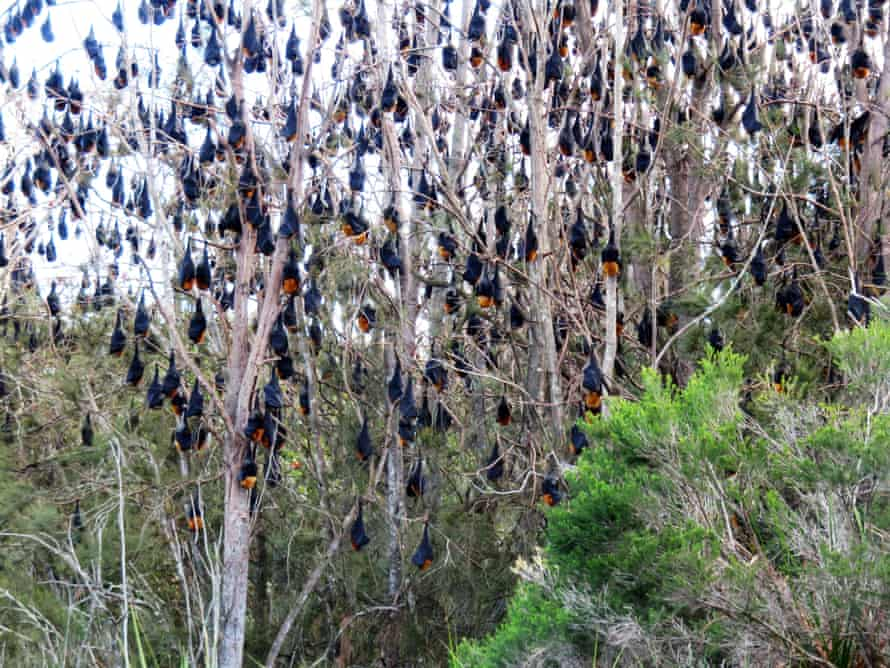 Grey headed flying foxes hang from a tree