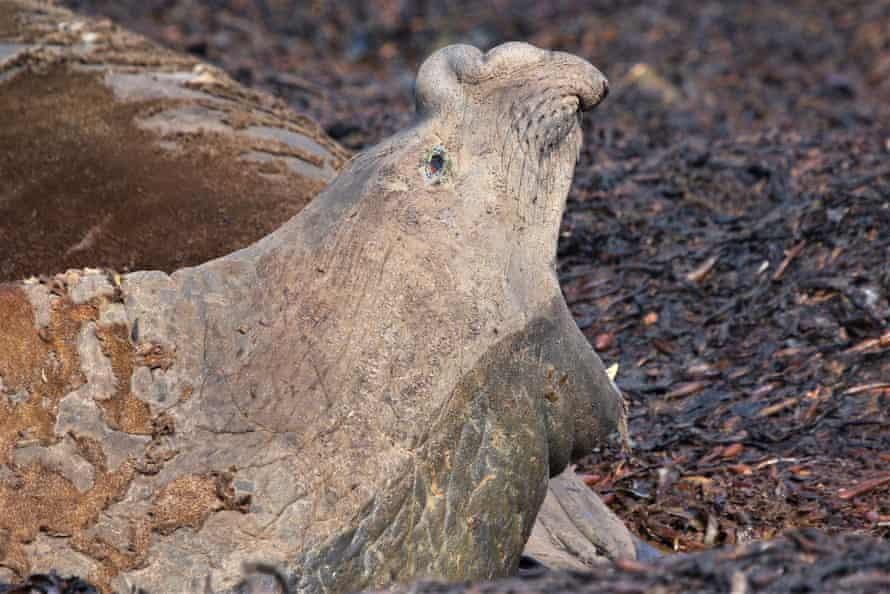 Elephant seal, Tristan da Cunha