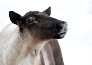 British Columbia is rushing to put plans in place to manage the endangered woodland caribou