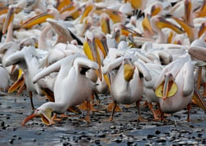Tel Aviv, Israel: great white pelicans eat fish at a water reservoir in the north Emek Hefer valley