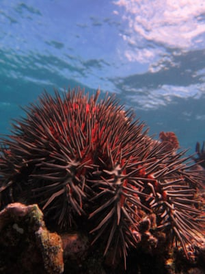 A crown-of-thorns starfish at Swains reef, part of the Great Barrier Reef off the east coast of Australia in the South Pacific Ocean