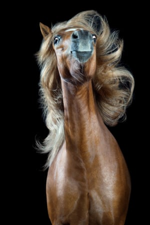 From a series of photographic studio portraits of horses  tossing their mane for the German photographer Wiebke Haas. The series, called Horsestyle, has been shortlisted for the 2018 Sony World Photography award.