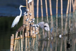 Various migratory birds perch on bamboo stilts at the Las Pinas-Paranaque Wetland Park in Las Pinas, the Philippines.