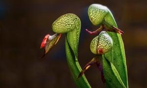 three cobra lily stems