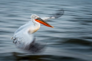 The Art of Flight by Alwin Hardenbol, a researcher at the University of Eastern Finland, has been named the overall winner of the British Ecological Society's photography competition. The panning shot of a dalmatian pelican in motion was taken on Lake Kerkini in Greece