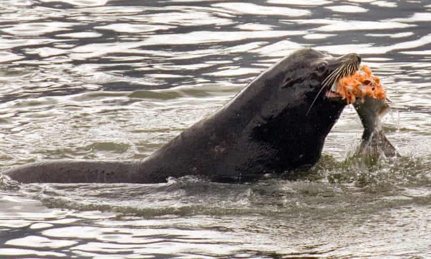 A sea lion eats a salmon in the Columbia River near the Bonneville Dam in North Bonneville, Washington.