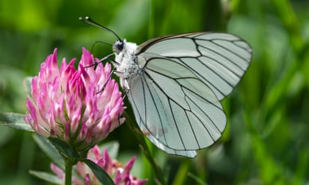 Black-veined white butterfly (Aporia crataegi) feeding on nectar from flower in meadow.
