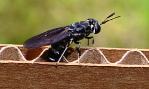 Behold – a black soldier fly.