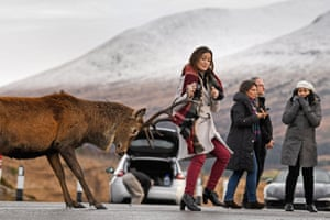 Tourists photograph a red deer stag at a car park near Glen Coe.