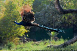 A peacock takes a flight at the National Zoological Park in New Delhi, India
