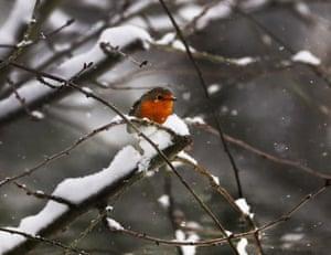 A robin during heavy snow fall in Frankfurt, Germany