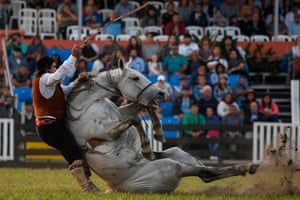 A gaucho falls from a bucking colt during the traditional rodeo week