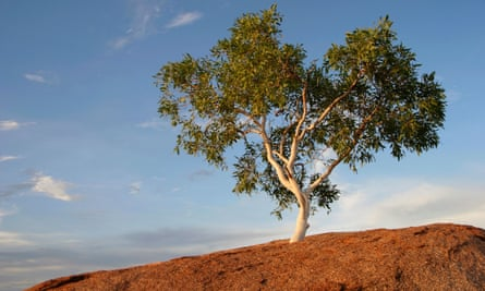 Eucalyptus tree