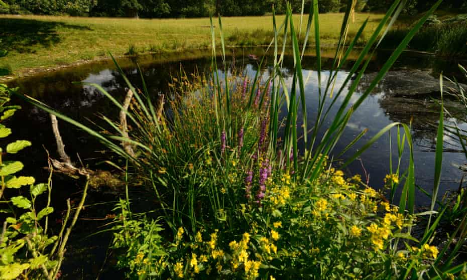 Purple and yellow loosestrife at the Lawn Pool in Herefordshire this summer
