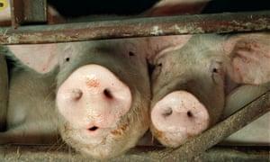 Wellington pig farm near Dalkeith, Scotland