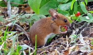 A wood mouse carrying away a tutsan fruit for hoarding