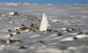 A snowshoe hare stands near Thule Air Base in Pituffik, Greenland