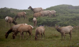 Tule elk graze on grass in a field at the Point Reyes national seashore