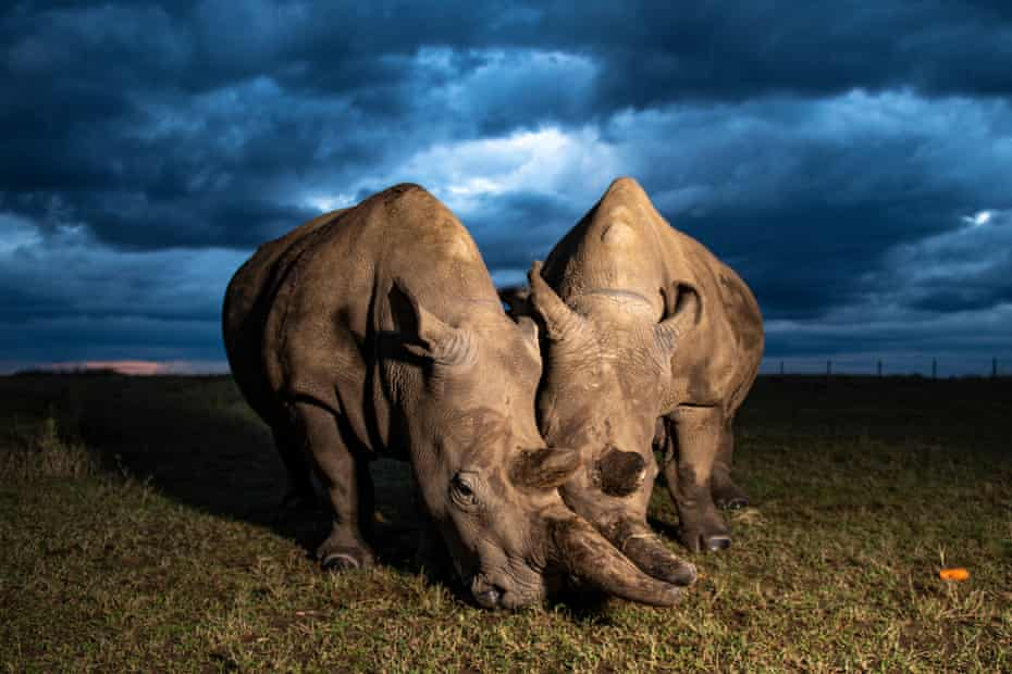 Fatu (left) and Najin (right) are the last two northern white rhinos left on the planet. They are both female and are a mother-daughter duo. The fate of the species now rest on assisted methods of reproduction.