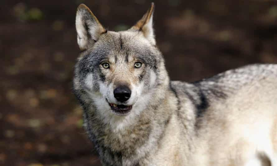 Wolves are particularly vulnerable in countries where there are lots of private landowners rather than state forests.