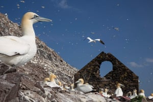 Gannets hunt fish by diving into the sea from a height and pursuing their prey underwater