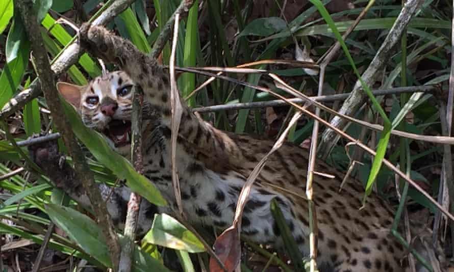 Leopard cat caught in a snare in the Cardamom Rainforest Landscape in Cambodia.