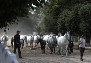 Horses are led to their stables at the stud farm in Kladruby nad Labem, Czech Republic.