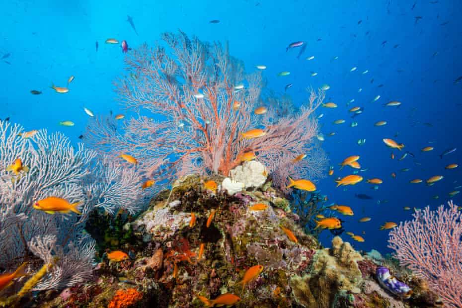 Lyretail Anthias in Coral Reef, Pseudanthias squamipinnis, Osprey Reef, Coral Sea, Australia