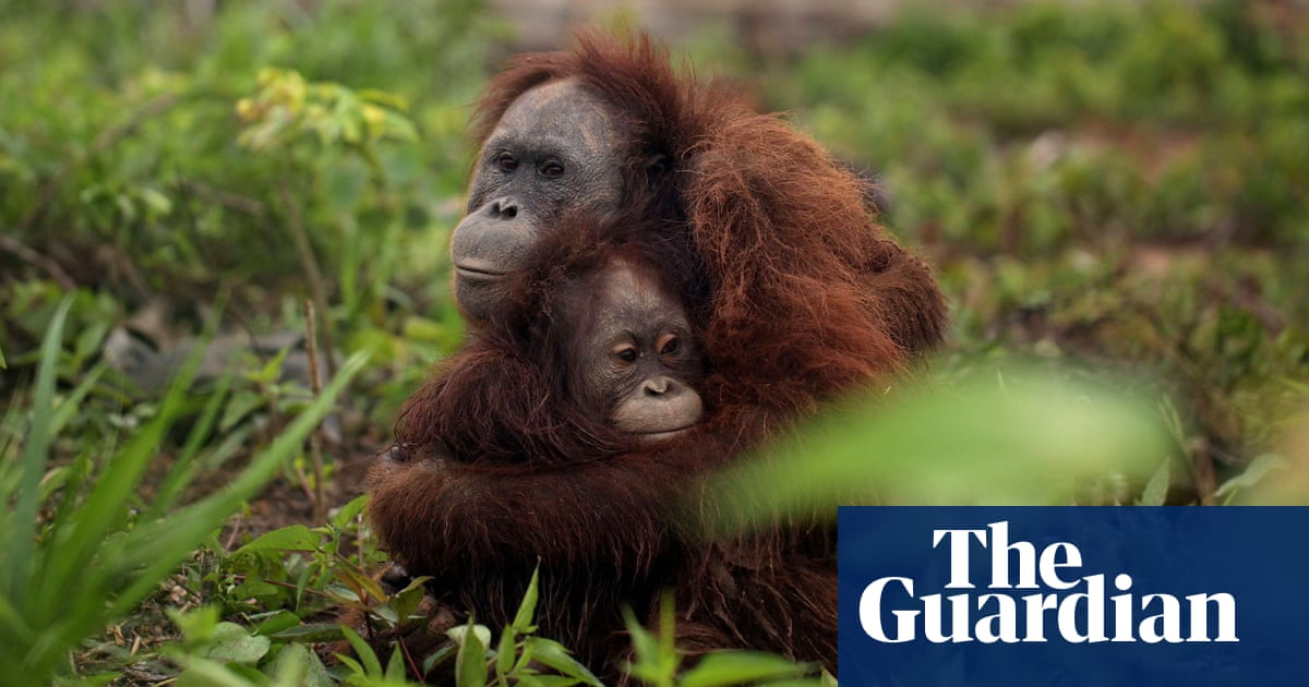 5ea486991054 How the world got hooked on palm oil | News | The Guardian