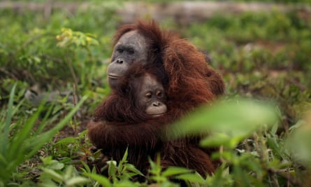 Orangutans rescued near a palm oil plantation in Kalimantan, Indonesia.