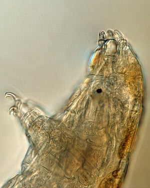 A microscope photo of a tardigrade.