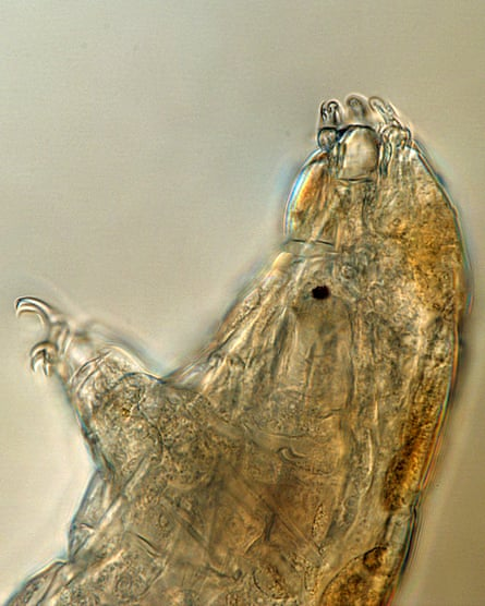 A microscope photo of a tardigrade.