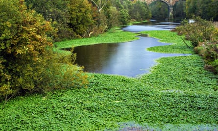 Floating invasive pennywort on the River Weaver in Cheshire